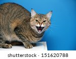Stock photo angry cat 151620788