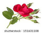 Flowers. Climbing Rose Isolate...