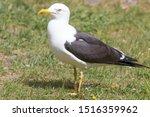 Stock photo european herring gull chick in german silberm we larus argentatus 1516359962