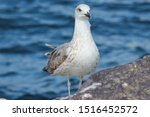 Stock photo young chick european herring gull chick in german silberm we larus argentatus 1516452572