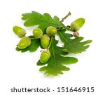 acorn with leaf isolated on... | Shutterstock . vector #151646915