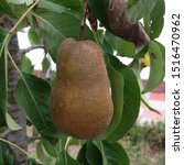 Macro Photo Pear On Branch....