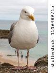 Stock photo european herring gull chick in german silberm we larus argentatus 1516489715