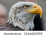 American Eagle Portrait With...