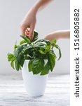Woman Hands Picking Basil Herbs....