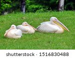 Group Of White Pelicans Lying...