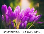 Small photo of Colchicum Autumnale or Autumn Crocus Close Up at Sunset. Beautiful Floral Background, Autumn Flowers