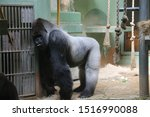 Gorilla named Bokito in the Rotterdam Blijdorp Zoo, famous due to his escape in 2007 when people get wounded