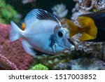 Small photo of White aberrant scopas tang(Zebrasoma scopas) very rare marine fish