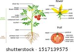 parts of plant. morphology of... | Shutterstock .eps vector #1517139575