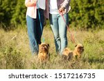Stock photo owners walking their adorable brussels griffon dogs in park 1517216735