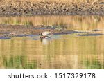 Two Egyptian Geese  Alopochen...