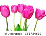 fresh pink tulips isolated on... | Shutterstock . vector #151734692