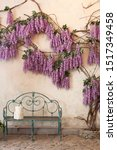 Blooming Wisteria Plants On A...