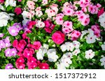 Large Mixed Group Of Impatiens...