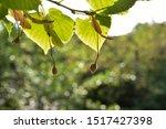Small Linden Globular Fruit...