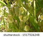 Ornamental Grass  Northern Sea...