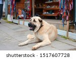 An Anatolian Shepherd Dog On...