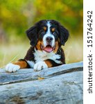 Bernese Mountain Dog Puppy...