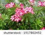 adenium obesum pink flowers.... | Shutterstock . vector #1517802452