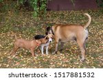 Stock photo beagle puppy american staffordshire terrier puppy and bullmastiff puppy are playing in the autumn 1517881532