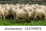 group of ewes waiting to go out ... | Shutterstock . vector #151799876