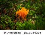 Yellow Stagshorn Mushroom...