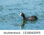 Red Knobbed Coot Or Crested...