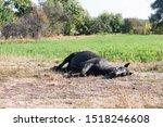 Horse Is Sleeping Lying Down