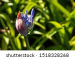 Bud Of Blue Agapanthus  With...