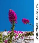 Beautiful Bougainvillea Flowers ...