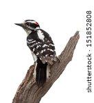 A Woodpecker Forms A V Shape...