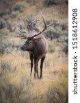Cervus Canadensis  Elk  Wapiti...