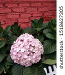 Small photo of Pink hydrangea symbolize romance, heartfelt emotions, love, weddings, and marriage.