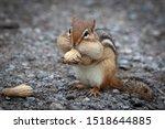 Chipmunk With Peanuts In Cheeks