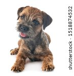 Young Border Terrier In Front...