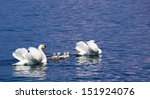 Family Of Swans On Lake Lago D...