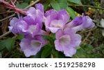 Garlic Vine Beautiful Purple...