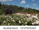 Summer Flowering Rose Shrubs I...