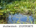 Little Pond  Surrounded By...
