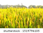 Mature Rice In Rice Field ...
