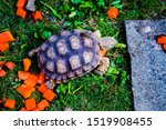 Stock photo close up images of the baby african spurred tortoise or centrochelys sulcata tortoise which 1519908455