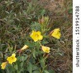 Late Summer Flowering Common...