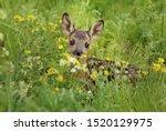 Adorable  Roe Deer Fawn...