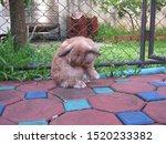 Rabbit  Cute Brown Holland Lop...
