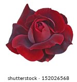 Flower Of  Dark Red Rose...