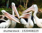 The great white pelican (Pelecanus onocrotalus) aka the eastern white pelican, rosy pelican or white pelican