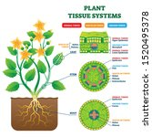 Plant Tissue Systems Vector...