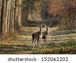 stag and doe in a forest | Shutterstock . vector #152062202