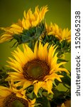 Sunflower. Similar Images At...
